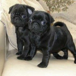 black puggy