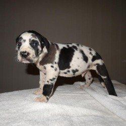 Great Dane x Cane Corso Puppies