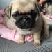 Pug puppy pure bred