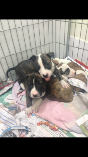 Roman nose bull terrier x American Staffy pups