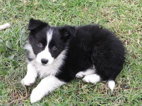 Purebred Long Hair Border Collie Pups Find Me A Pet